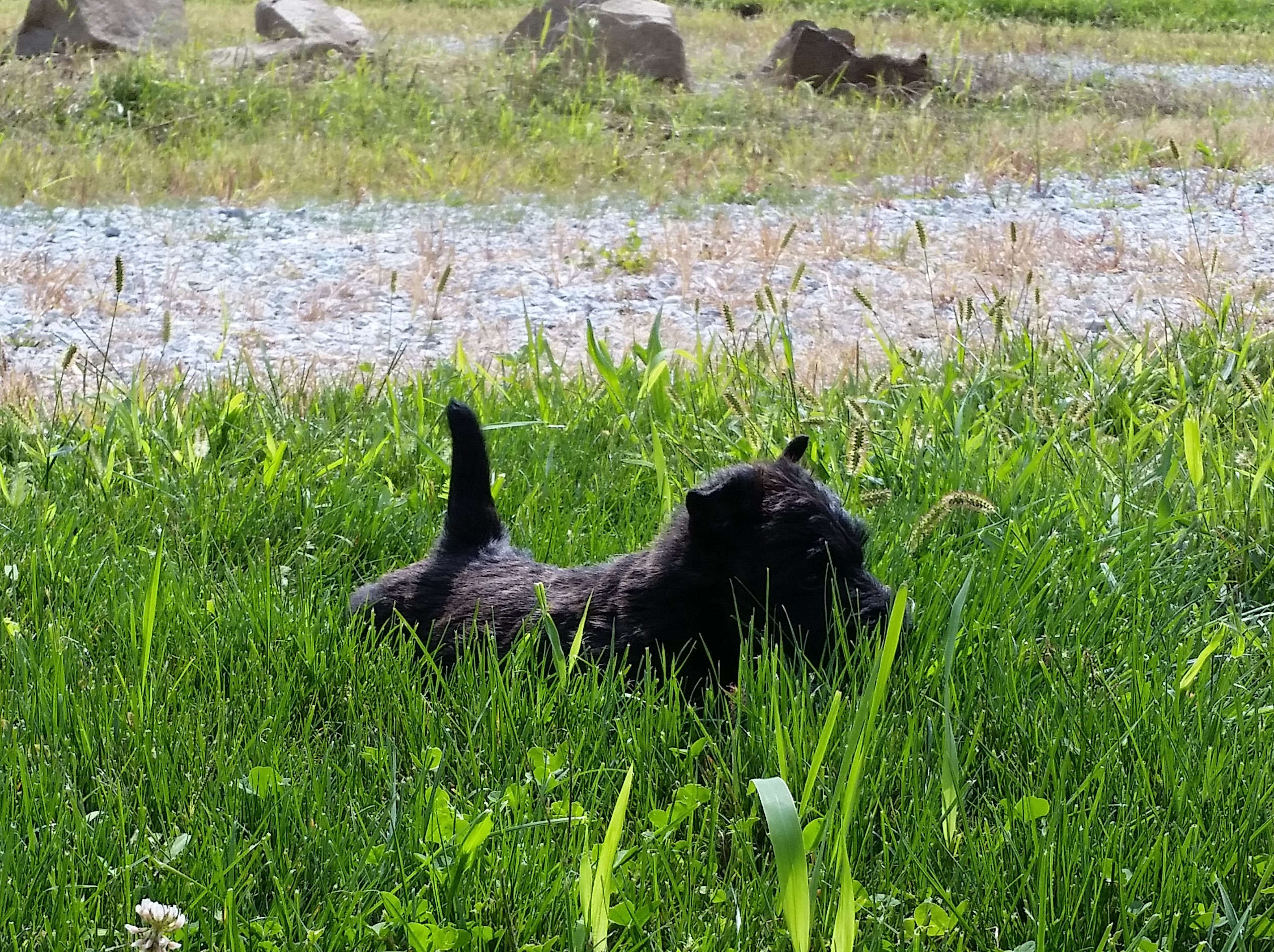 Moira's Puppies. This is Acorn in the grass