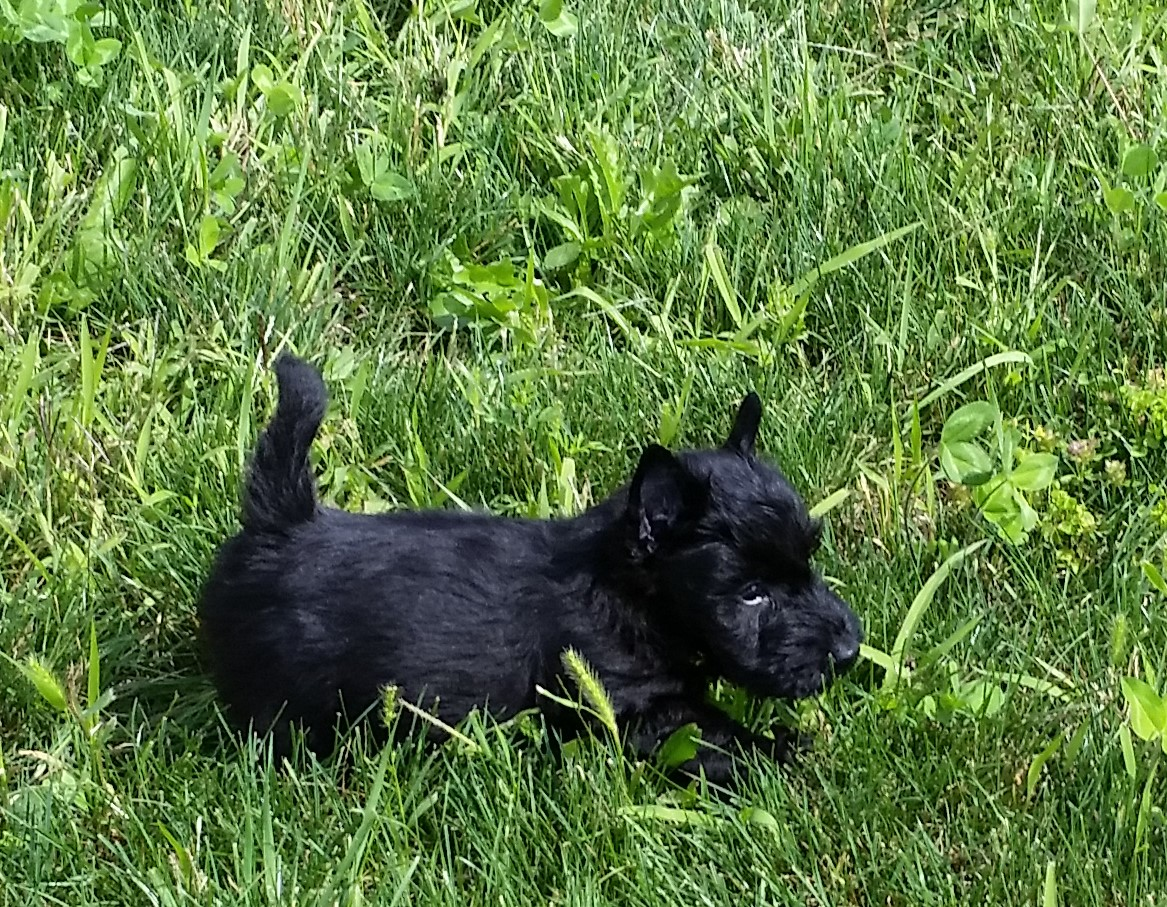 Moira's Puppies. This is Little Man in grass