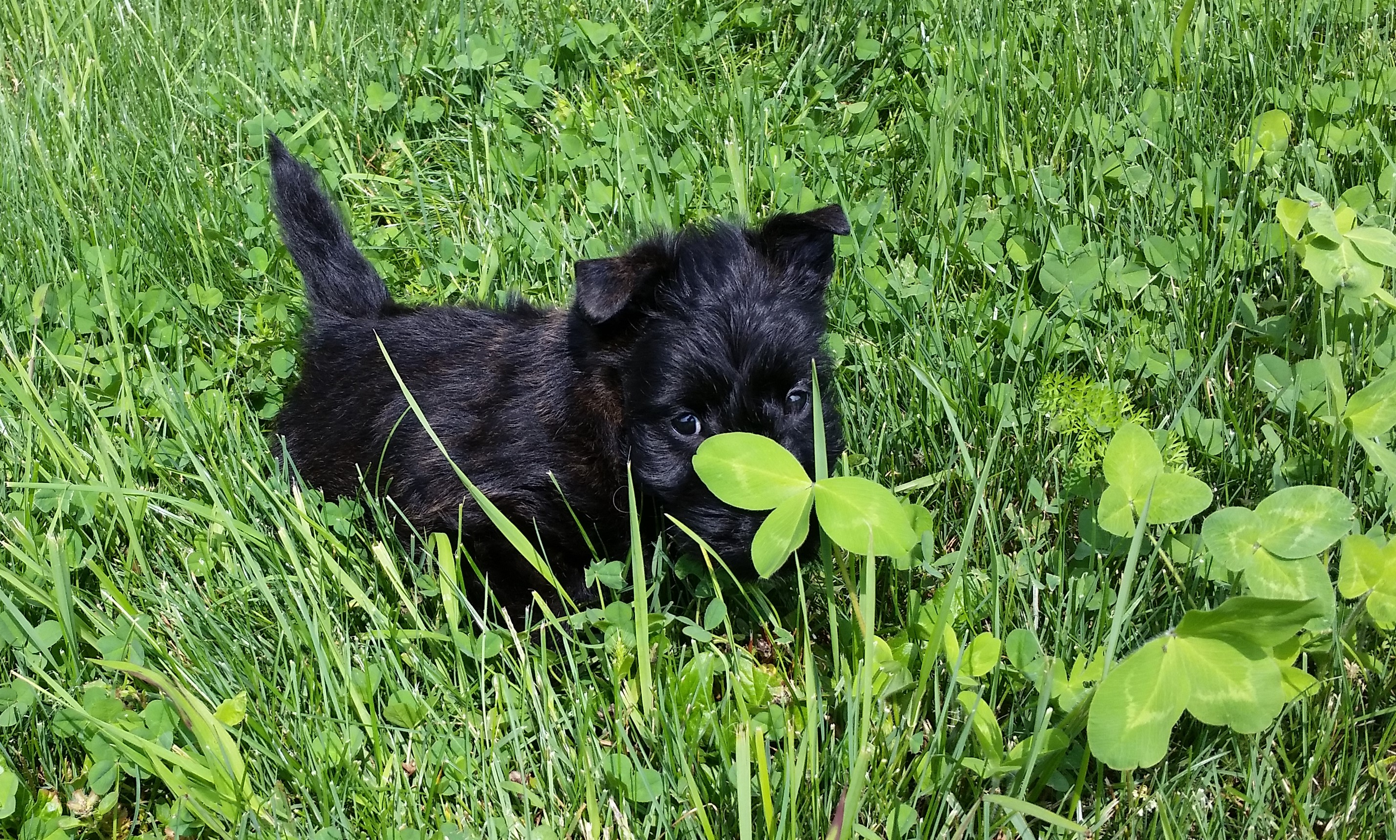 Moira's Puppies. This is Moose in the Clover