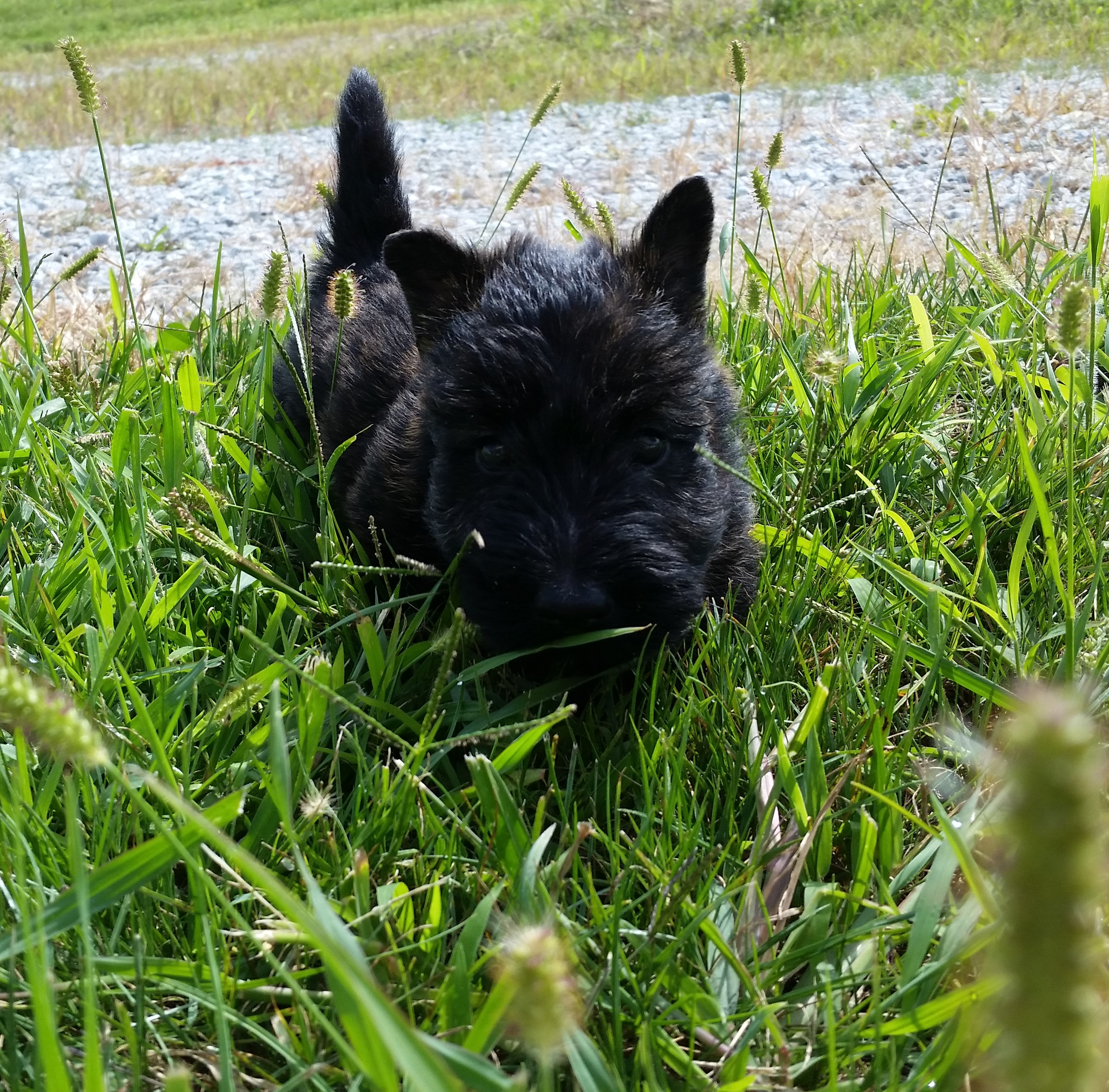 Moira's Puppies. This is Wallace in the grass
